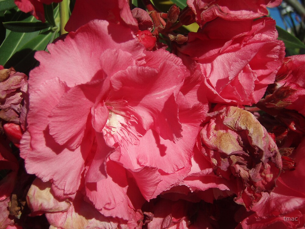 Tennant Creek, NT, Australia - Pink Flowers Living and Dying by tmac