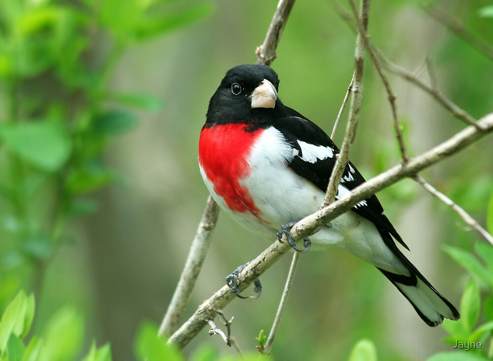 Rose-breasted Grosbeak by Jayne