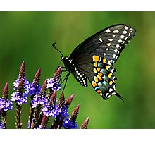Black Swallowtail Photographic Print