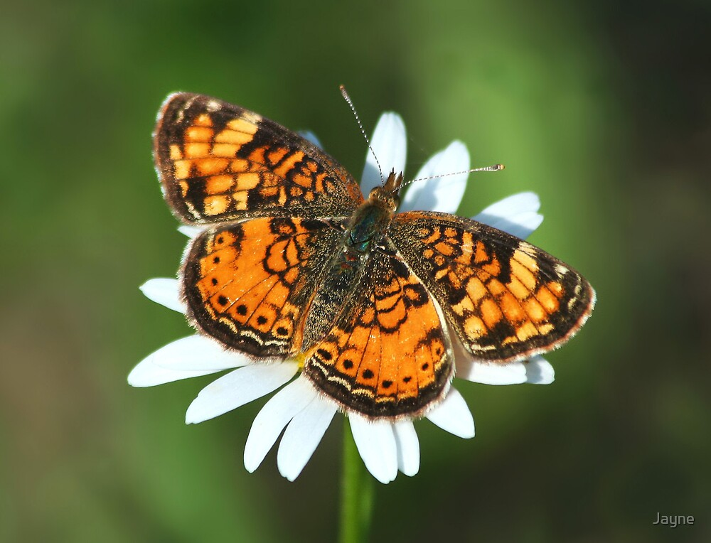 Northern Pearl Crescent by Jayne
