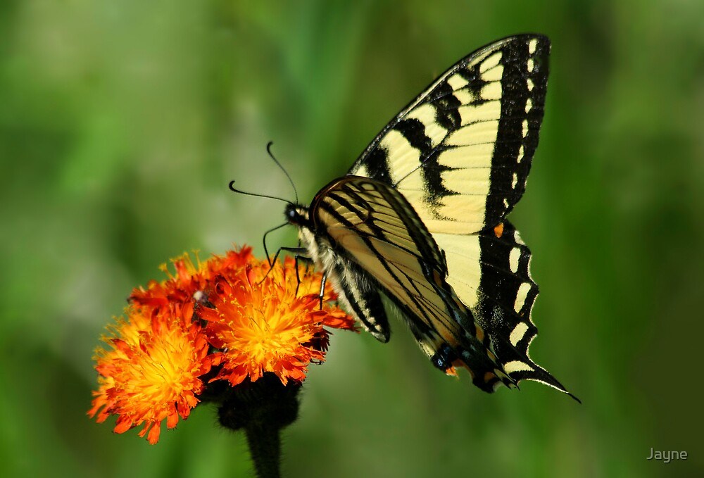 Canadian Tiger Swallowtail by Jayne