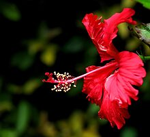 Dancing Red Hibiscus by Carole-Anne