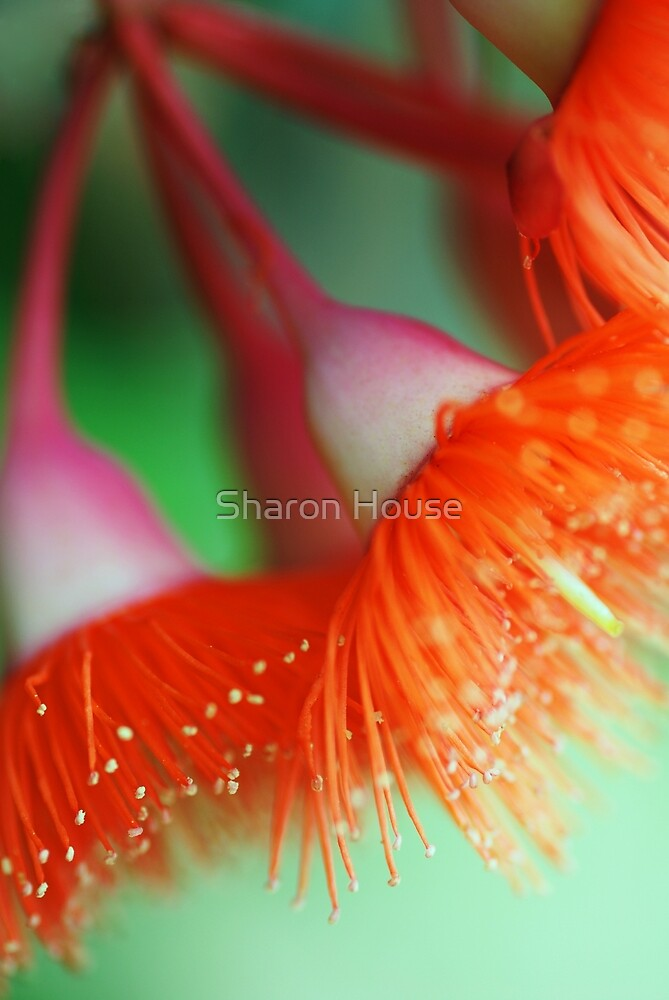 Blossom Of The Gum by Sharon House