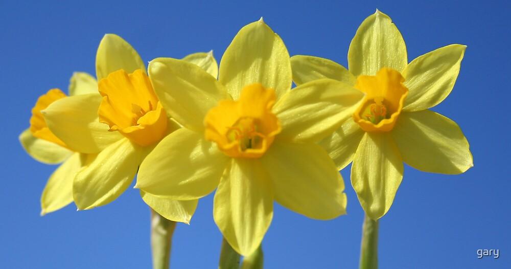 Daffodils by gary