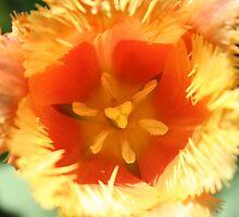 Exotic Orange Tulip by flowercityphoto