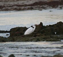 Egret on the rocks by Brenton James