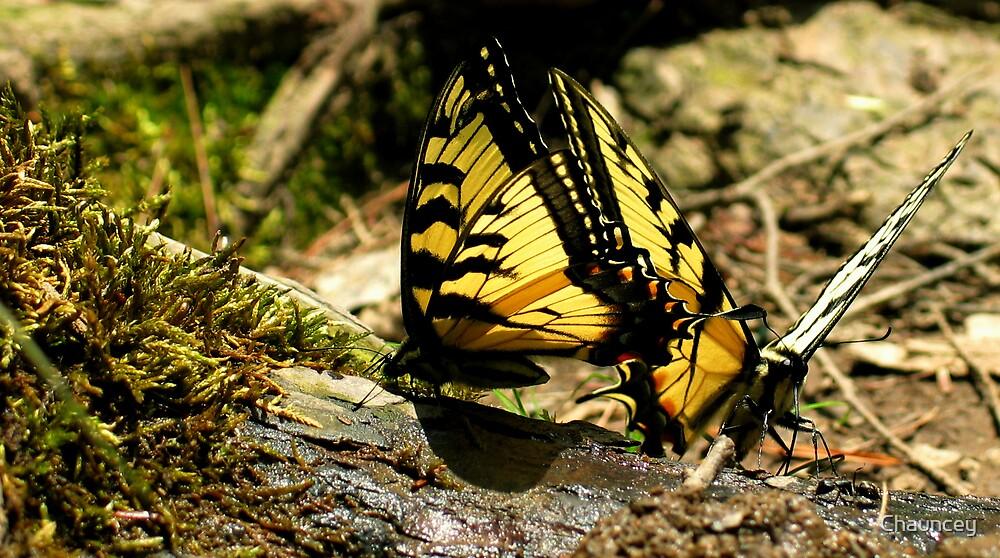 Butterflies by Chauncey