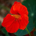 Bright Red Nasturtium by Sandra Chung