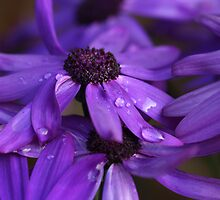 Purple Passion by Justine Humphries