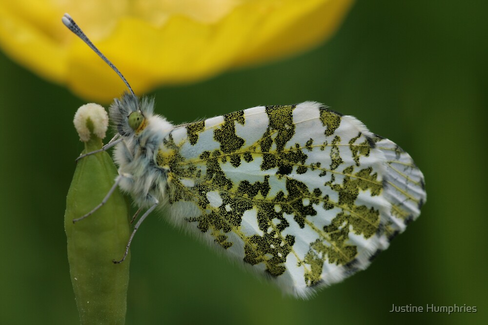 Butterfly & Poppy by Justine Humphries