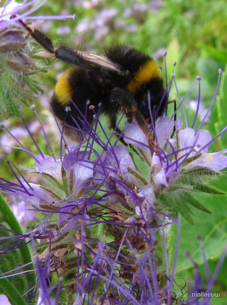 Honeybee on lacy phacelia by ninileeuw