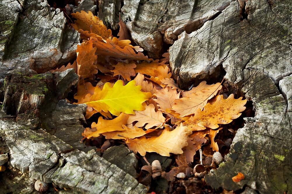 Oak Leaves by farmboy