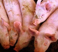 Inquisitive piglets by Caroline Scott