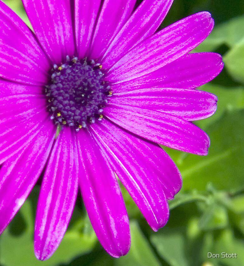Purple Daisy by Don Stott