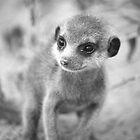 Meerkat pup by Adam Seward