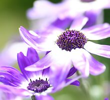 Senetti in Blue by Justine Humphries