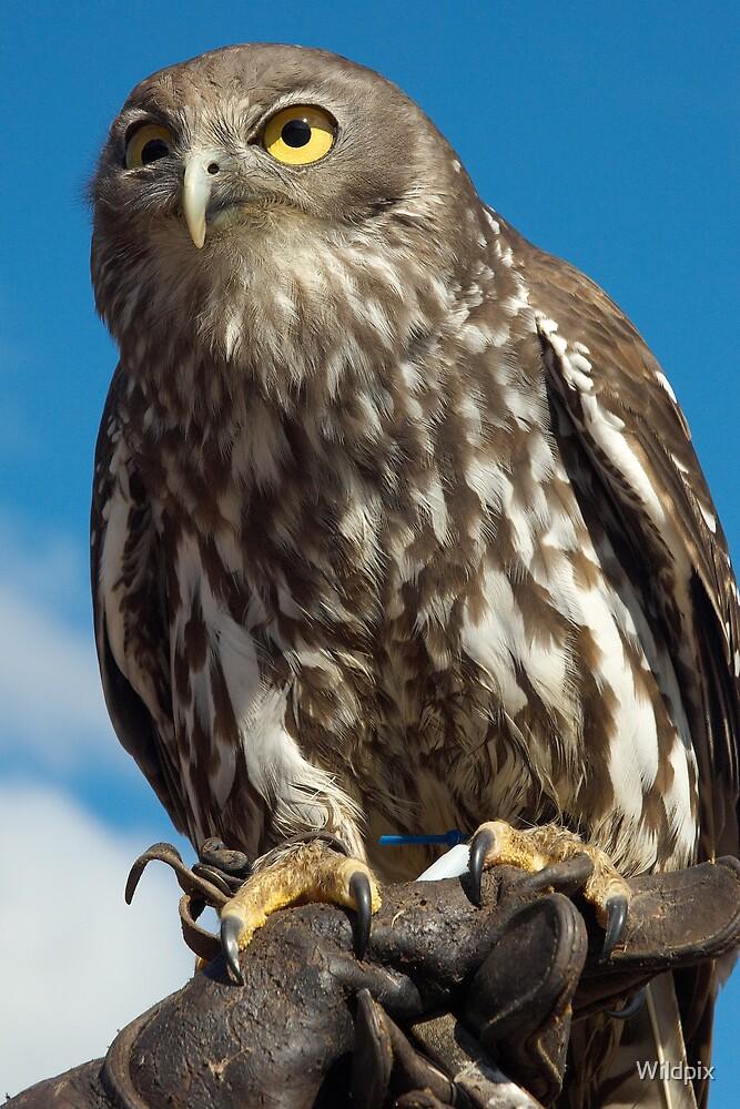 Barking Owl by Wildpix