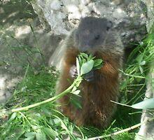 mommy groundhog eating leaves stem by oilersfan11