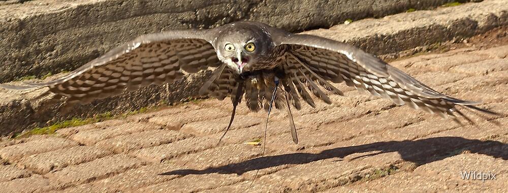 Barking Owl in Flight by Wildpix
