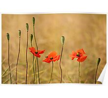 Wild Red Poppies Poster