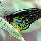Butterfly by Dave Cauchi