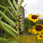 Monarch Caterpillar by EmmaLeigh
