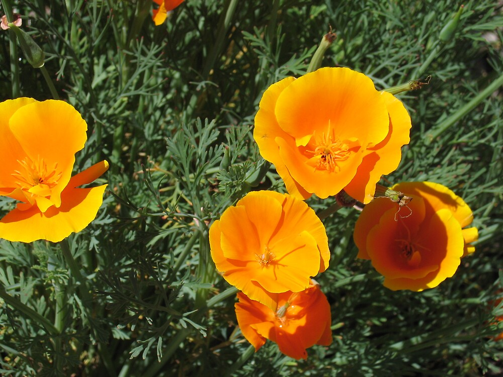 Yellow Poppies by Liz Cooper