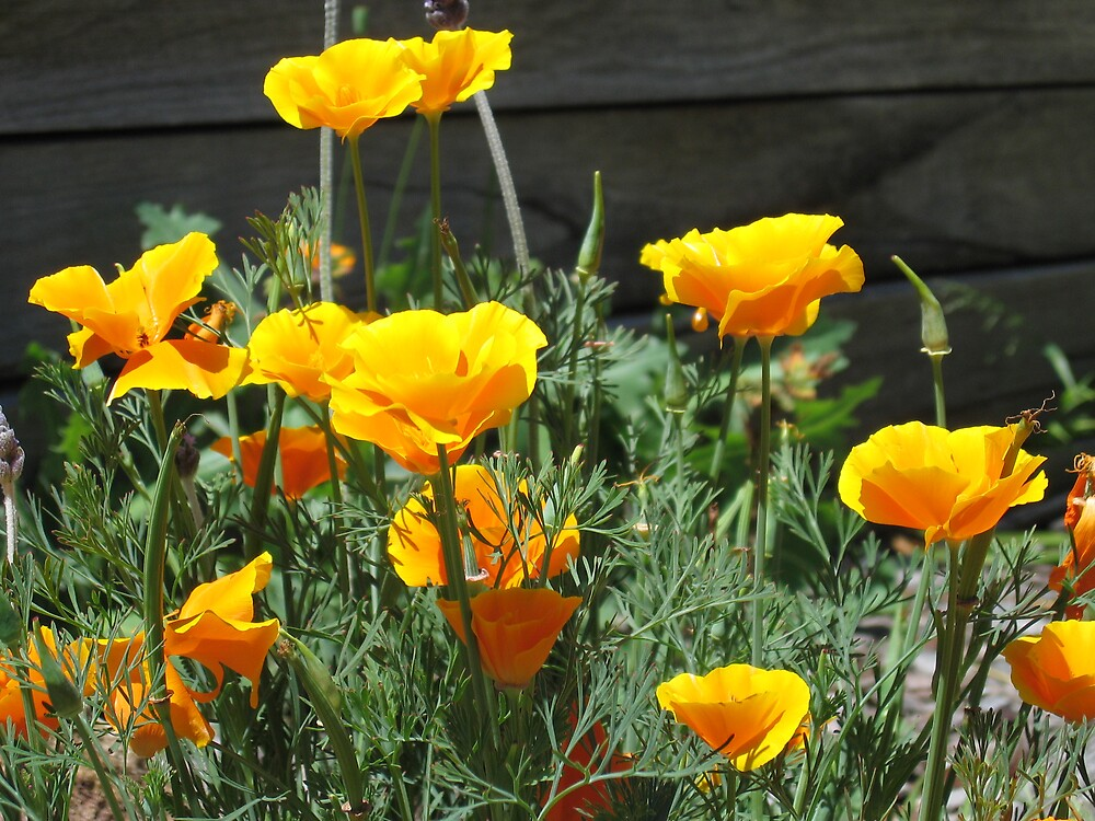 Poppies by Liz Cooper
