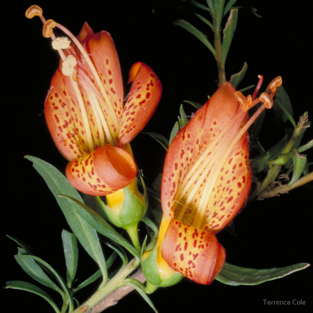 Eremophila maculata by Terrence Cole