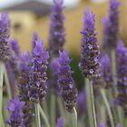 Lavender flowers by Gnangarra