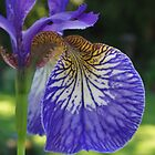 Purple Iris by Jen  Govey