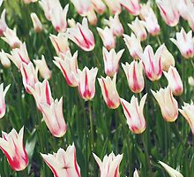Tulips by Karin Elizabeth