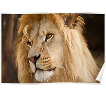 Portrait of a Male Lion Poster
