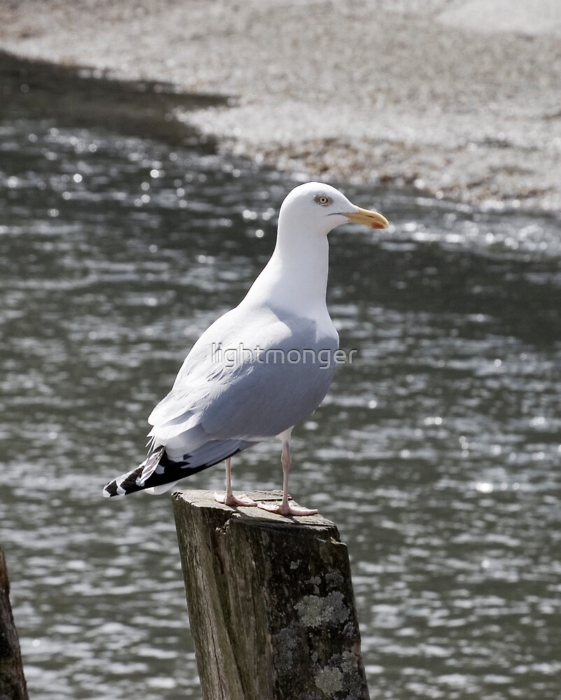 Herring Gull on Post by lightmonger