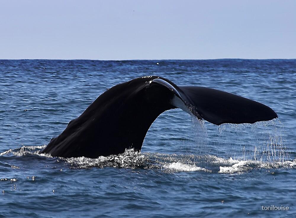 Sperm Whale Fluke by tonilouise