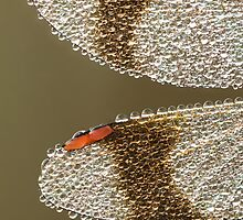 band-winged dragonfly with dew by Natuuraandemuur