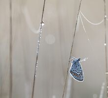 Silver Studded Blue with dew by Natuuraandemuur
