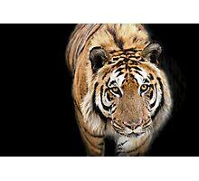 Wild Cats - Tiger Photographic Print