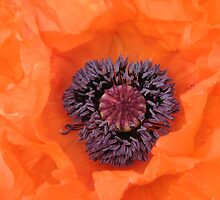 Orange Poppy by SooBee