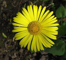 Yellow Daisy by SooBee