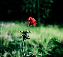 Single Red Flower by MattLew