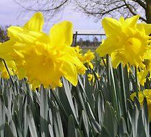 Daffodils in a field by Stacey Kellett