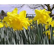 Daffodils in a field Photographic Print