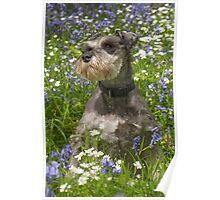 Miniature Schnauzer in Bluebells Poster