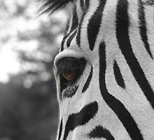 Eye Of The Zebra by Amelia Allensworth