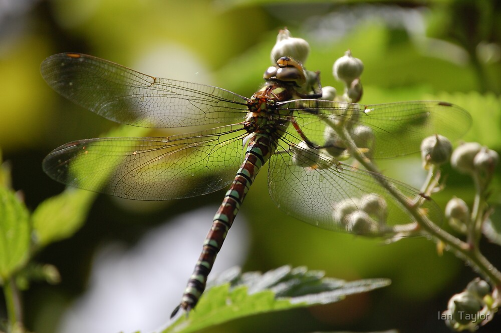 dragonfly  by Ian  Taylor