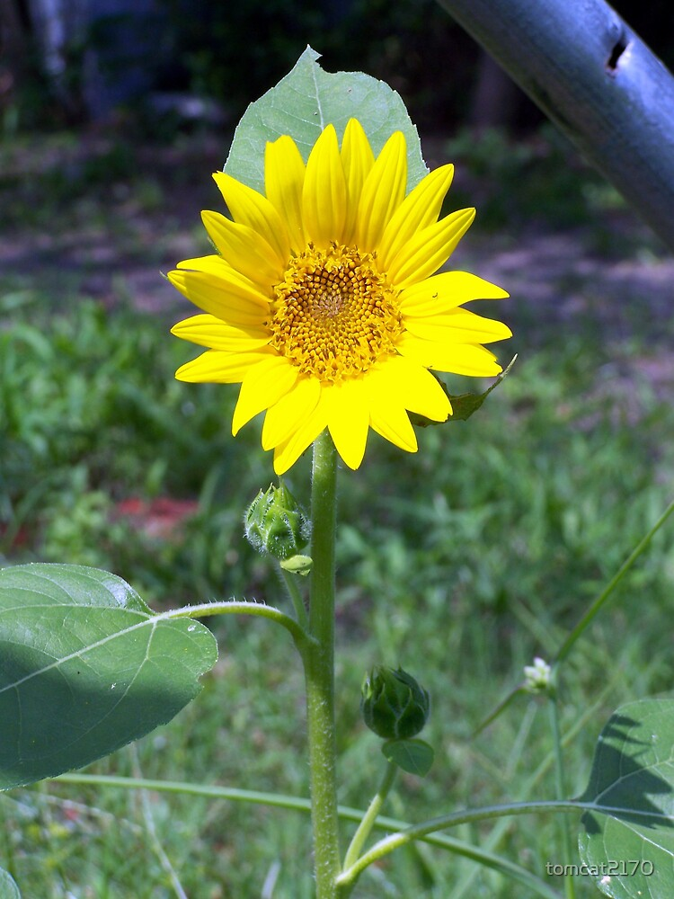 small sunflower by tomcat2170
