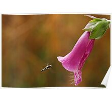 Hover Fly with Foxglove Poster