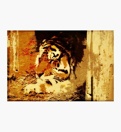tiger at rest Photographic Print