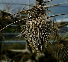 Dried Thistle by audiomad